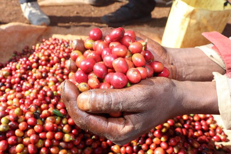 Thaitha_Omni Roast_Floozy Coffee_Beans_Buy_online_specialty_Australian_roasters_nsw